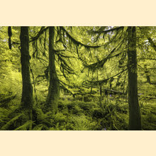 06 - Hoh Rainforest (Print) 01